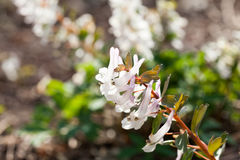 Stagger weed Corydalis cava plant with purple or white flower. With natural background stock photography