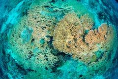 staghorn桌珊瑚在西巴丹岛,马来西亚 免版税库存照片