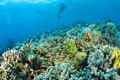 Staghorn桌珊瑚在西巴丹岛,马来西亚 库存图片