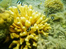 Staghorn珊瑚在离Nananu我镭海岛的附近,斐济岸  免版税图库摄影