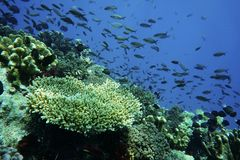 Staghorn珊瑚 免版税库存图片