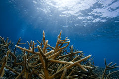 staghorn коралла bonaire Стоковое Изображение RF