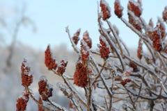 Staghorn黄栌和冰(漆树typhina) 免版税库存图片