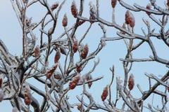Staghorn黄栌和冰(漆树typhina) 库存图片
