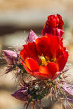 Staghorn Cactus Flower Stock Photo
