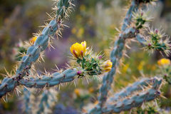 Staghorn_Cholla. A blooming Staghorn Cholla in the Arizona Sonoran Desert of  Phoenix.  The blooms are yellow and pink in color and the cactus looks almost blue Stock Photo