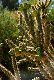 Staghorn cholla Stock Image