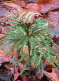 Staghorn Clubmoss 库存图片