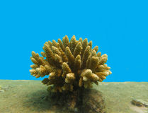 Staghorn coral, Acropora Stock Photos