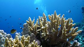 Staghorn coral, Acropora pulchra, with tropical fish underwater in the Red sea stock video footage
