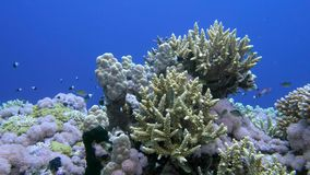 Staghorn coral, Acropora pulchra, with tropical fish underwater in the Red sea stock footage
