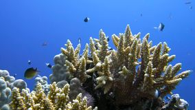 Staghorn coral, Acropora pulchra, with tropical fish underwater in the Red sea. 4K stock video