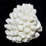 Staghorn Coral or Acropora sea coral Royalty Free Stock Photos