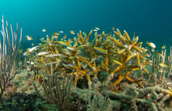 Staghorn Coral and Juvenile Fish Stock Images
