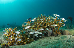 Staghorn Coral and Juvenile Grunts Royalty Free Stock Photos