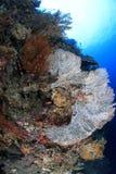 Staghorn Coral Reef Fotografering för Bildbyråer