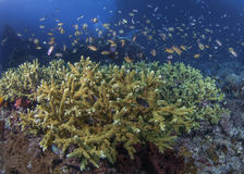Staghorn Coral reef ecosystem Stock Photography