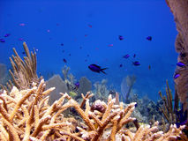 Staghorn coral reef and tropical fish Stock Images