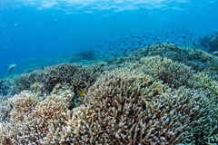 Staghorn coral reef Stock Images