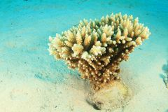 Staghorn coral on sandy bottom royalty free stock photos