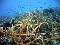 Staghorn Coral Seascape avec Chromis de instruction images libres de droits