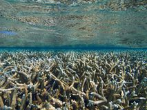 Staghorn coral thicket. Huge expanse of staghorn coral stretching into the blue and reflected in the silver surface of the sea. Lac Bay, Bonaire, Netherlands stock photos