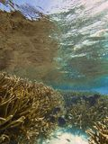 Staghorn coral thicket Royalty Free Stock Photos