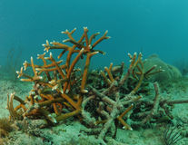 Staghorn coral in underwater seascape Stock Images