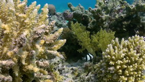 Staghorn corals on sandy bottom on reef on Red Sea stock footage