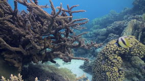 Staghorn corals on sandy bottom on reef on Red Sea stock video footage