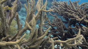 Staghorn corals on sandy bottom on reef on Red Sea stock video