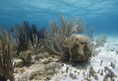 staghorn de jardins de corail de cerveau Photographie stock