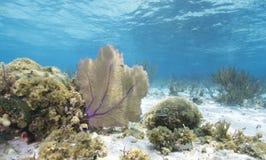 staghorn de jardins de corail de cerveau Photo libre de droits