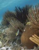 staghorn de jardins de corail de cerveau Images libres de droits