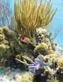 staghorn de jardins de corail de cerveau Image libre de droits