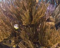 staghorn de jardins de corail de cerveau Photos stock