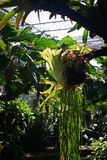 Staghorn or elkhorn ferns. Tropical rain forest plant stock photo