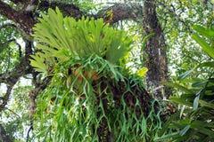 Staghorn fern Royaltyfria Bilder