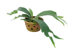 Staghorn fern on clay pot Royalty Free Stock Photos