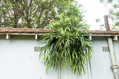 Staghorn Fern Growing from Eaves of Tiled Roof Royalty Free Stock Images