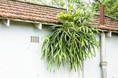 Staghorn Fern Growing on Eaves of Tiled Roof Royalty Free Stock Images