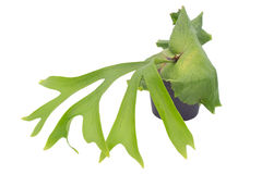 Staghorn fern. Isolated on white background Stock Photo