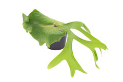 Staghorn fern Stock Photo
