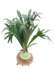 Staghorn fern Stock Photography