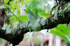 Staghorn Fern. Parasite plant growing tree Stock Photo