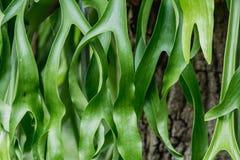 Staghorn Fern. Platycerium holttumii Joncheere & Hennipman. POLYPODIACEAE royalty free stock photo