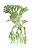 Staghorn fern, Platycerium superbum, ornamental tropical plant i Stock Image