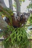 Staghorn fern Platyceriumholttumii Joncheere & Hennipman poly Arkivfoto