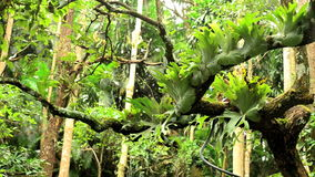 Staghorn fern rowing on a tree in a forest stock video