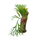 Staghorn fern on stump Royalty Free Stock Photos